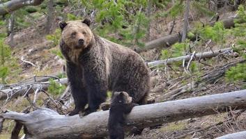 A medvepopuláció szabályozására kötelezte a román parlament a kormányt - illusztráció