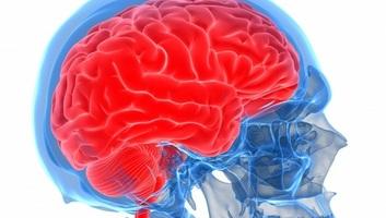 Megfejtették, miért nőtt aránytalanul nagyra az ember agya - illusztráció
