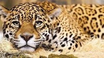 New Orleans: Róka a kilencedik áldozata az állatkerti karámjából kiszabadult jaguárnak - illusztráció