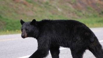 Medvét ütött el egy kisteherautó Romániában - illusztráció