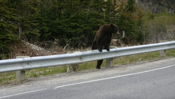 Három nap alatt a második medvét gázolták el a romániai A1-es autópályán - illusztráció