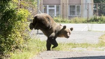 Csíkszeredai iskolaudvaron lőttek ki kedden egy medvét - illusztráció