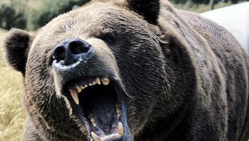 Medve támadt egy férfira a székelyföldi Csíkkarcfalván - illusztráció