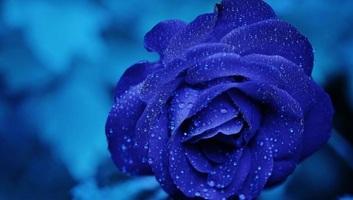 Kék rózsát állítottak elő kínai kutatók - illusztráció
