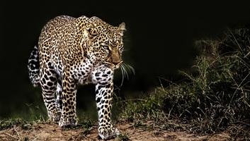 Négyéves kislányt ölt meg egy leopárd - illusztráció