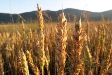 Romániában az idei gabonatermés meghaladta a 30 millió tonnát - A cikkhez tartozó kép