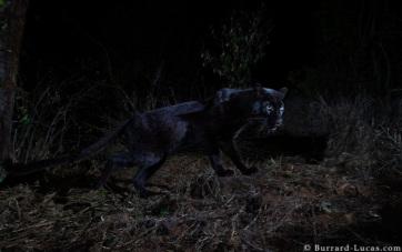 Kivételesen ritka képek készültek egy vadon élő fekete párducról - A cikkhez tartozó kép