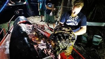 Negyven kilogramm műanyag zacskót találtak egy bálna gyomrában - illusztráció