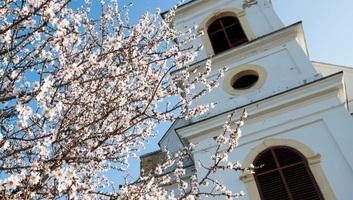 A pécsi havihegyi mandulafa lett az év európai fája - illusztráció