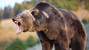 Rendőrség: A székelyföldi medvetámadás áldozata megdobálta a barlangot - illusztráció