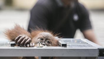 Kosárban akart kicsempészni Baliról egy orangutánt egy orosz férfi - illusztráció