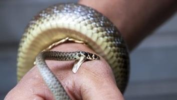 WHO: Minden negyedik percben meghal egy ember kígyómarás miatt - illusztráció
