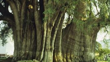 Az Amerikai Egyesült Államokban 2624 éves mocsárciprust találtak - illusztráció
