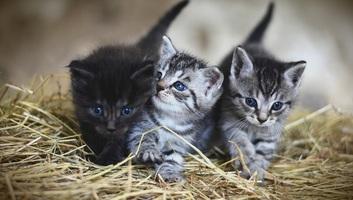 A macskafajták jellemvonásainak fele örökletes - illusztráció