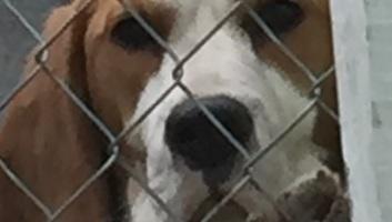 Óbecse: Háromszáz kutya egy menhelyen - illusztráció