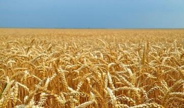 Bácskában és Bánátban is gyenge a búzahozam - A cikkhez tartozó kép