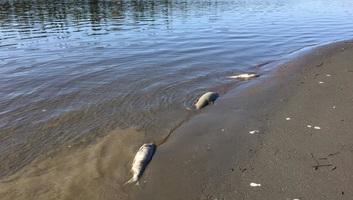 A túl meleg víz miatt tömegesen pusztulnak az alaszkai lazacok - illusztráció