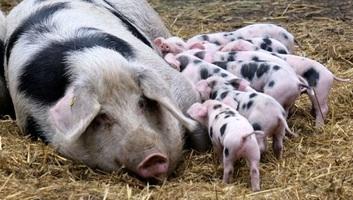 Szerbiának lehet, hogy fél millió sertéssel kell végezni a pestis miatt - illusztráció