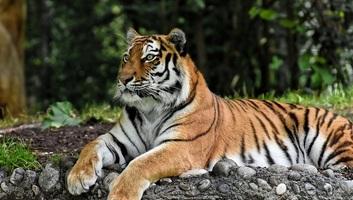 Több mint 2300 tigris esett orvvadászok áldozatául az ezredforduló óta - illusztráció
