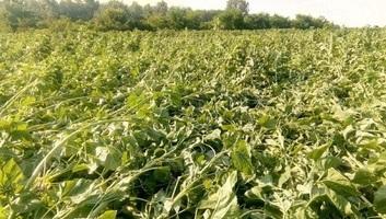 Károkat okozott az időjárás a mezőgazdaságban Nagybecskerek és Titel községben - illusztráció