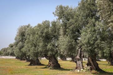 Gyorsan terjedő betegség tartja rettegésben az olivaolaj-termelőket - A cikkhez tartozó kép