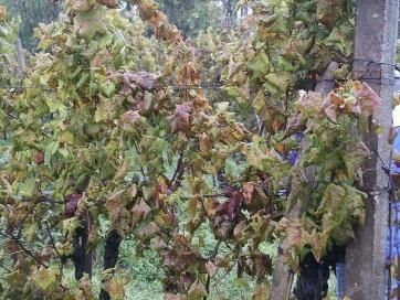 Veszélyes kórokozó jelent meg a vajdasági szőlőültetvényeken - A cikkhez tartozó kép
