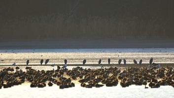 Mintegy hárommilliárd észak-amerikai madár tűnt el 1970 óta - illusztráció