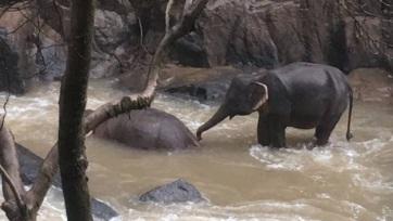 Thaiföld: Egy elefántcsorda hat tagja fulladt vízbe - A cikkhez tartozó kép