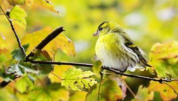 Hangosabb éneklésre kényszeríti a madarakat a repülőgépek zaja - illusztráció