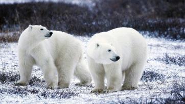 Összeírják a jegesmedvéket Oroszországban - A cikkhez tartozó kép