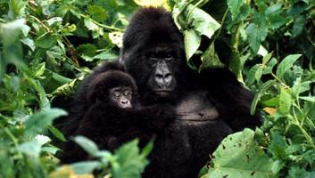 Az afrikai hegyi gorillákat is veszélyezteti a koronavírus - illusztráció