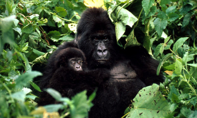 A hegyi gorillák 1996 óta tartoznak a súlyosan veszélyeztetett fajok közé