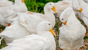Újra megjelent Magyarországon a madárinfluenza - A cikkhez tartozó kép