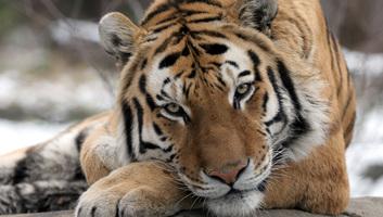 Megfertőződött több tigris New York egyik állatkertjében - illusztráció