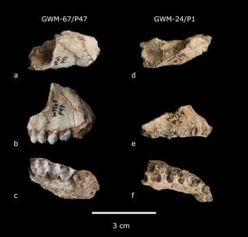 Két kihalt főemlősfajt fedeztek fel Etiópiában - A cikkhez tartozó kép