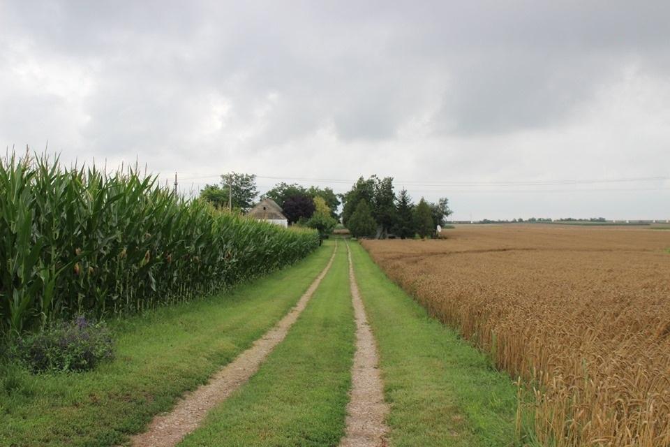 A kapásnövények állapotán sokat javított az eső, de az aratást késleltette