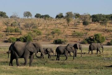 Két hónap alatt több mint 350 elefánt múlt ki Botswanában - A cikkhez tartozó kép