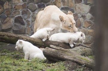 Három fehér oroszlán született a Nyíregyházi Állatparkban - A cikkhez tartozó kép
