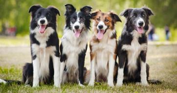 A kutyák agya az emberekéhez hasonlóan dolgozza fel a beszédet - A cikkhez tartozó kép