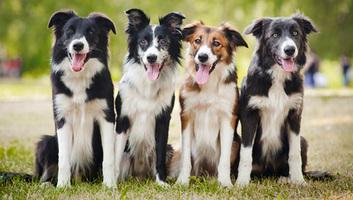 A kutyák agya az emberekéhez hasonlóan dolgozza fel a beszédet - illusztráció