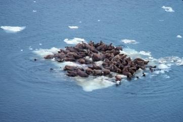 Évezredek óta a legalacsonyabb volt a bering-tengeri jég kiterjedése az elmúlt két télen - A cikkhez tartozó kép