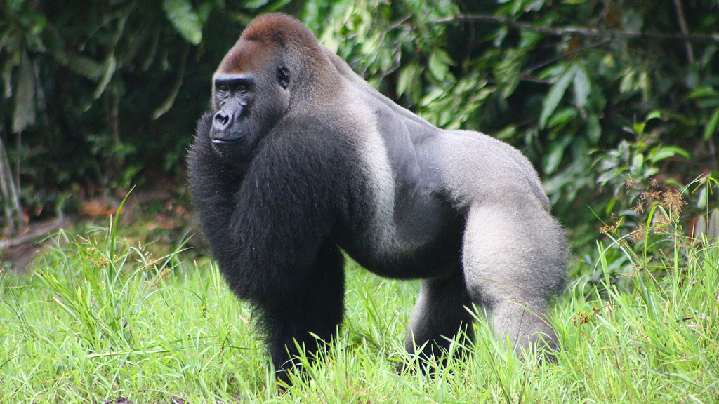 A kihalás szélén:  a keleti síkvidéki gorilla