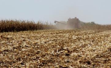 Mégsem lesz rekordtermés kukoricából Szerbiában? - A cikkhez tartozó kép