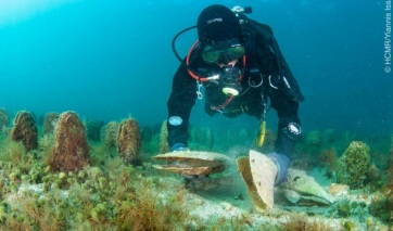 A sonkakagyló kihalása miatt aggódnak a horvát tengerbiológusok - A cikkhez tartozó kép
