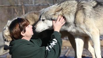 Ha emberek között nő fel egy farkas, akkor sem lesz teljesen szelíd - illusztráció
