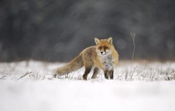 A város közeli vadvilág alkalmazkodott az ember életmódjához - A cikkhez tartozó kép
