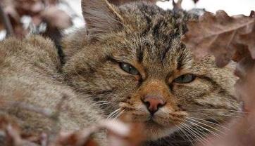 Veszélyeztetik a vadmacskák jövőjét a házimacskák - A cikkhez tartozó kép