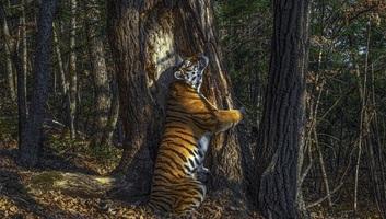Egy fát átölelő szibériai tigrisről készült képével orosz fotós nyerte az év természetfotósa díjat - illusztráció