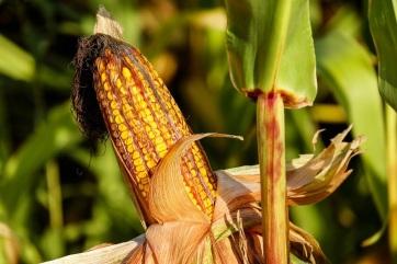 Meredeken emelkedik a kukorica felvásárlási ára - A cikkhez tartozó kép