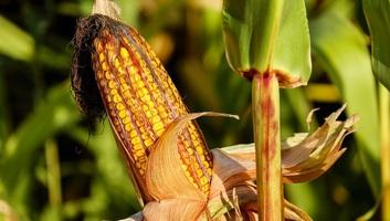 Meredeken emelkedik a kukorica felvásárlási ára - illusztráció